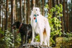 Weißer russischer Barzoi und kleine schwarze Jagd gemischter Zucht-Hund Lizenzfreie Stockfotografie