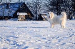 Weißer Samoyedhund auf dem schneebedeckten ländlichen Gebiet Stockfoto
