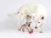 Weißer Schäfer aufpassendes Chihuahuaspiel lizenzfreie stockbilder
