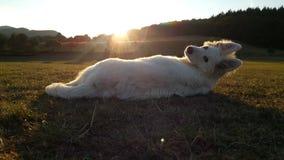 Weißer Schäferhund stockbilder