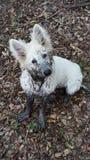 Weißer Schäferhund stockfotos