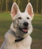 Weißer Schäferhund Lizenzfreie Stockfotos