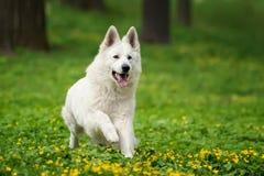 Weißer Schäferhund Berger Blanc Suisse lizenzfreies stockbild