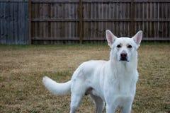 Weißer Schäferhund im Hinterhof lizenzfreies stockfoto