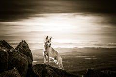 Weißer Schäferhundhund, der auf den Berg steht Stockbilder