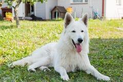 Weißer schöner Schweizer Schäferhund schützt das Haus Lizenzfreies Stockbild