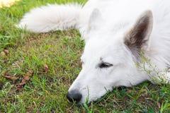 Weißer schöner Schweizer Schäferhund schläft Lizenzfreie Stockfotos