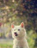 Weißer Schlittenhund in einem Park lizenzfreie stockbilder