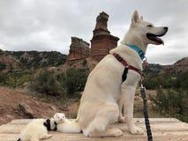 Weißer Schlittenhund und Frettchen auf einer Wanderung stockfoto