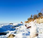 Weißer Schlittenhund unter dem Winter des Meeres Stockfotografie
