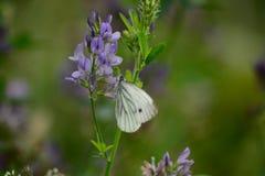 Weißer Schmetterling Lizenzfreie Stockfotos