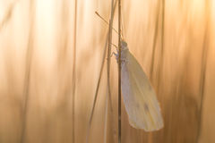 Weißer Schmetterling auf Blatt bei des Sonnenaufgangs stockfoto