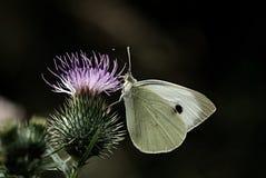 Weißer Schmetterling auf Blumendistel stockbild