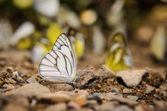 weißer Schmetterling auf dem Stein Stockfotografie