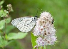 Weißer Schmetterling auf der süßen Blume Stockfotografie