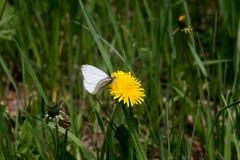 Weißer Schmetterling auf einem gelben Löwenzahn Lizenzfreie Stockfotos