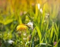 Weißer Schmetterling auf einem Löwenzahn Lizenzfreie Stockbilder