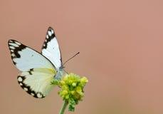 Weißer Schmetterling auf gelber Blume Stockfoto