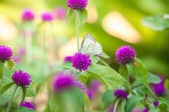 Weißer Schmetterling auf purpurroten Blumen im Garten Stockbild