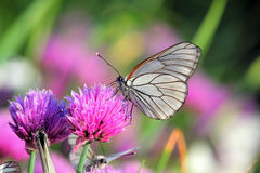 Weißer Schmetterling auf Schnittlauchblumen Stockbild