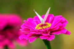 Weißer Schmetterling, der auf Blumenblüte isst Stockfotografie