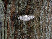 Weißer Schmetterling, der auf einer Barke u. einem x28 sitzt; Sumatra, Indonesia& x29; Stockbild