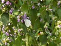 Weißer Schmetterling, der auf einer Blume sitzt lizenzfreie stockfotos