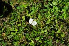 Weißer Schmetterling, der in der Wiese im Sommerabschluß herauf Ansicht sitzt Lizenzfreie Stockbilder