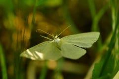 Weißer Schmetterling im Licht des grünen Grases der Morgensonnendias auf den Flügeln stockbild