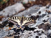 Weißer Schmetterling machaon Abschluss Stockfoto