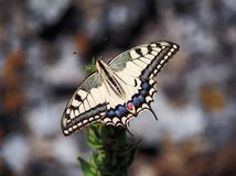 Weißer Schmetterling machaon Abschluss Stockbilder