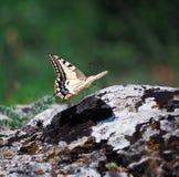 Weißer Schmetterling machaon Abschluss herauf Spitze Lizenzfreies Stockbild