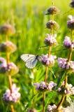 Weißer Schmetterling mit den schwarzen Adern des Weißdorns sitzend auf purpurrotem f Stockfotos