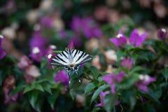 Weißer Schmetterling mit schwarzen Streifen auf grünem Hintergrund mit purpurroten Blumen stockbild