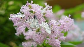 Weißer Schmetterling sitzt auf blühender Flieder Kohlschmetterling Lizenzfreie Stockbilder