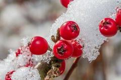 Weißer Schnee und rote Stechpalmenbeeren Stockbild