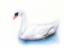 Weißer Schwan Lizenzfreies Stockfoto