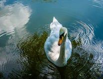 Weißer Schwan Stockfotografie