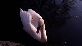Weißer Schwan stockbild
