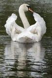 Weißer Schwan Stockfoto