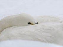 Weißer Schwan auf dem Schnee Lizenzfreie Stockfotos