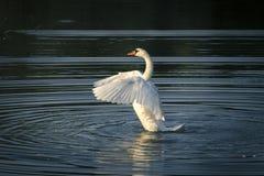 Weißer Schwan auf dem See Stockbilder