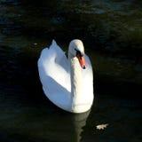 Weißer Schwan auf dem See Lizenzfreie Stockbilder