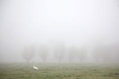 Weißer Schwan, der in Wiese im Nebel geht Lizenzfreies Stockbild