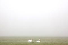 Weißer Schwan, der in Wiese im Nebel geht Lizenzfreie Stockfotos