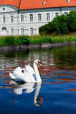 Weißer Schwan mit Reflexion Stockbilder