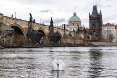 Weißer Schwan in Prag Stockfotos