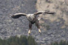 Weißer Schwanz Eagle lizenzfreie stockbilder
