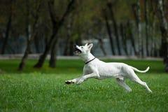 Weißer Schweizer Schäfer, der im Frühjahr Feld laufen lässt Stockfotografie