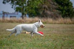 Weißer Schweizer Schäferhund Lizenzfreies Stockfoto